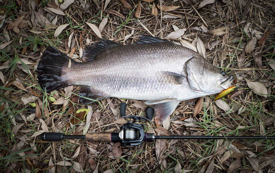 caught barramundi