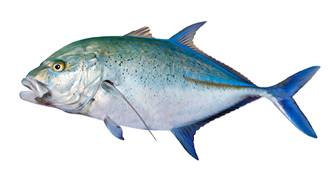 TREVALLY, BLUEFIN
