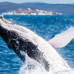 WHERE TO SEE WHALES IN QUEENSLAND