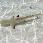 LAND BASED SHARK TAGGING WESTERN AUSTRALIA