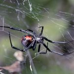 AUSTRALIAN VENOMOUS SPIDERS: STAY SAFE CAMPING OR NOT
