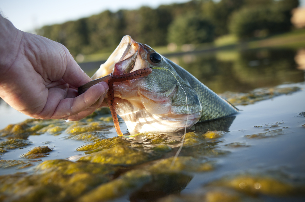 Bass Pulled Out Of Water By Hand
