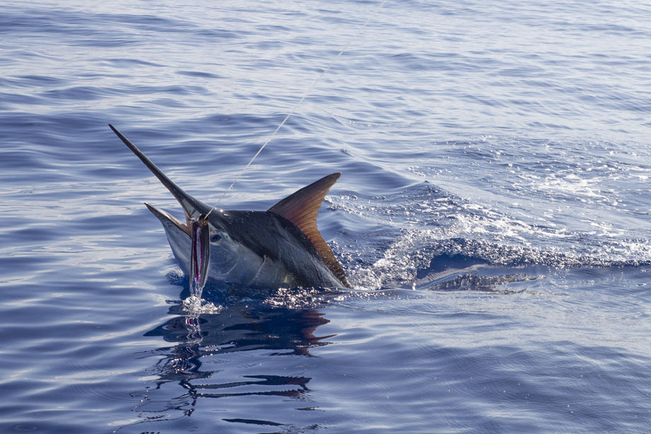 Black Marlin Caught On Fishing Line