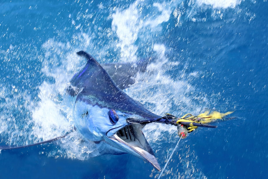 Blue Marlin Head Out Of Water