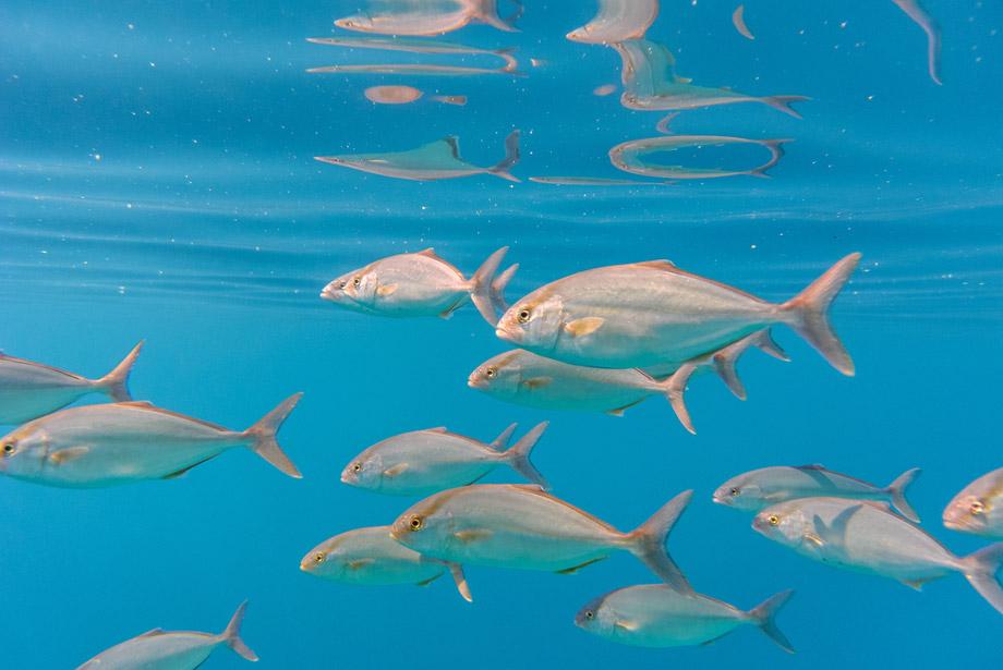 Amberjack Swimming In Ocean