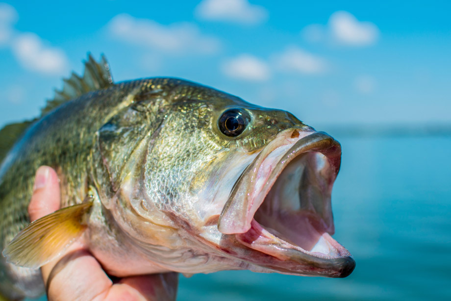 Wide Open Mouth Of An Australian Bass