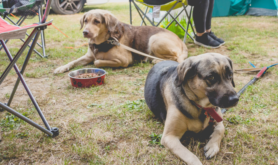 Two Dogs At Campsite
