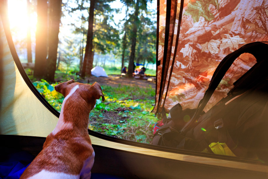 Dog Looking Out From Tent Interior
